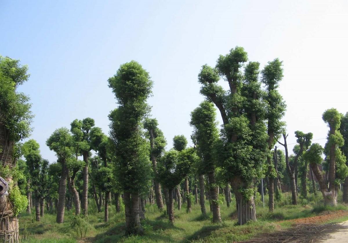 香樟树(直径20cm)